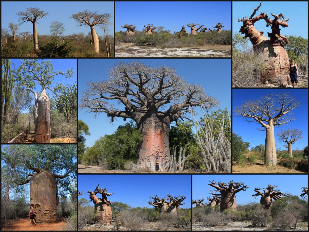 baobabs.1